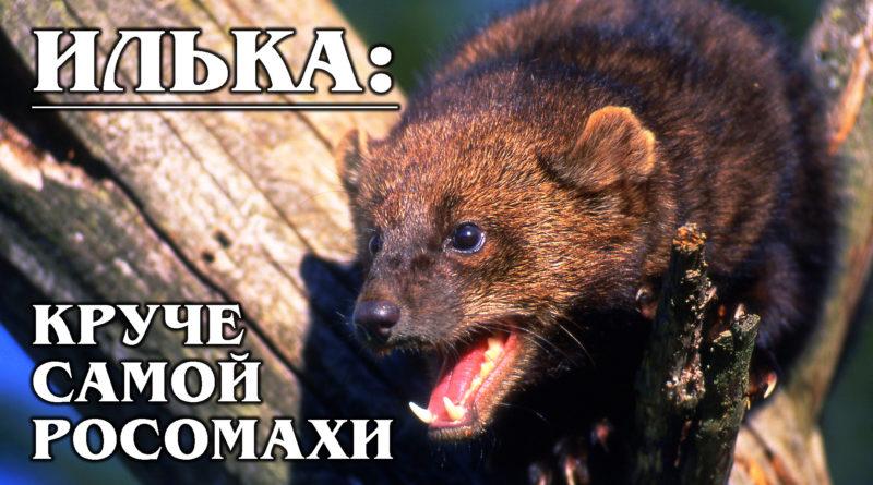 ИЛЬКА (КУНИЦА-РЫБОЛОВ): Американская росомаха