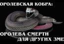 КОРОЛЕВСКАЯ КОБРА: Королева змей поедает своих подданных