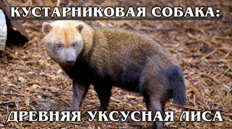 КУСТАРНИКОВАЯ СОБАКА: Раритетная саванная собака с перепонками на лапах