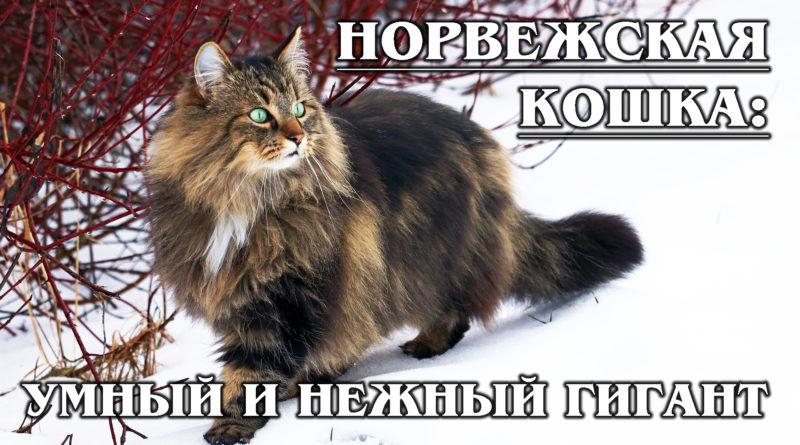 НОРВЕЖСКАЯ ЛЕСНАЯ КОШКА: Умнейшая кошка викингов