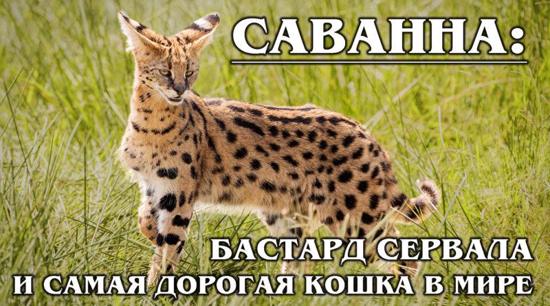 САВАННА: Дочка сервала - самая дорогая кошка в мире