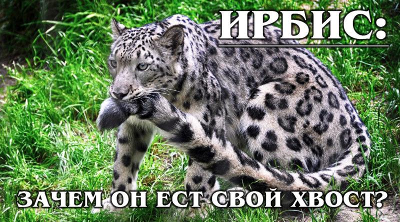ИРБИС (СНЕЖНЫЙ БАРС): Горный кот с длинным хвостом