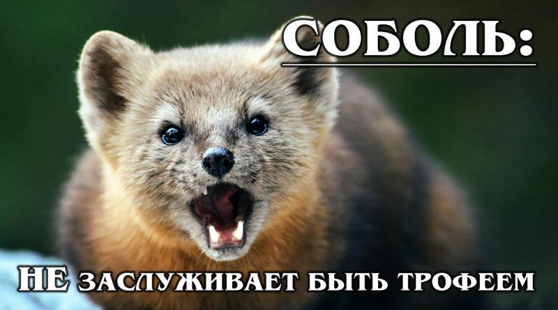СОБОЛЬ: Самый ценный хищник в мире