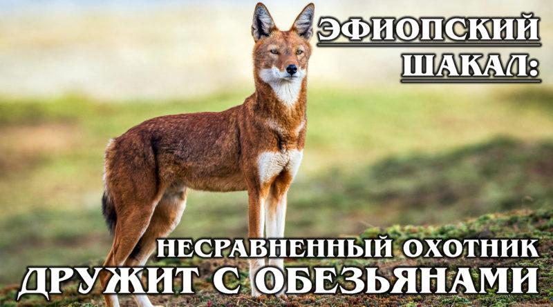 ЭФИОПСКИЙ ВОЛК (ШАКАЛ): Уникальный хищник с повадками лисы