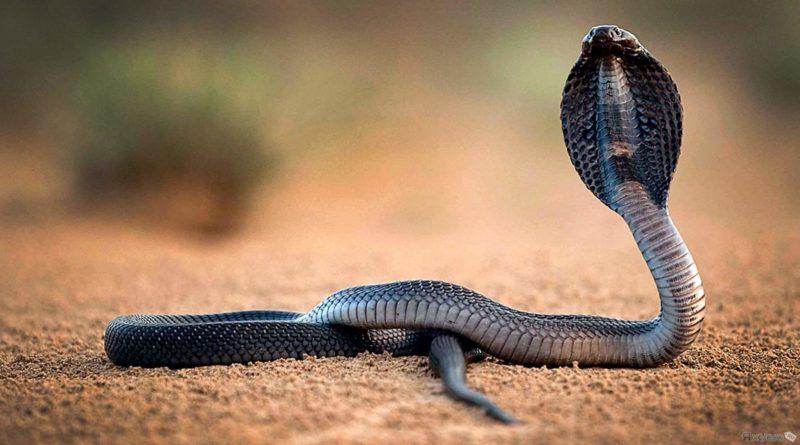 Королевская кобра: Королева смерти абсолютно для всех