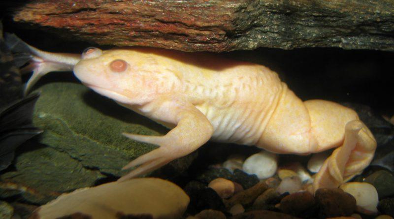 Ксенопус: Лягушка-человек