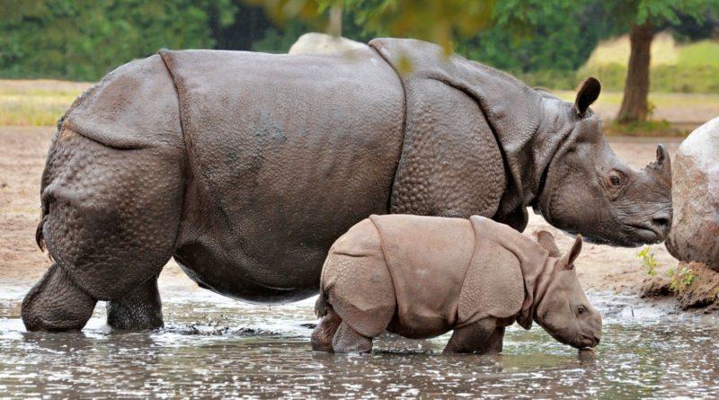 Индийский носорог: Бронетранспортер в латах