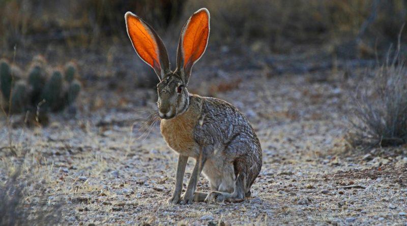 Чернохвостый заяц: Уши-локаторы