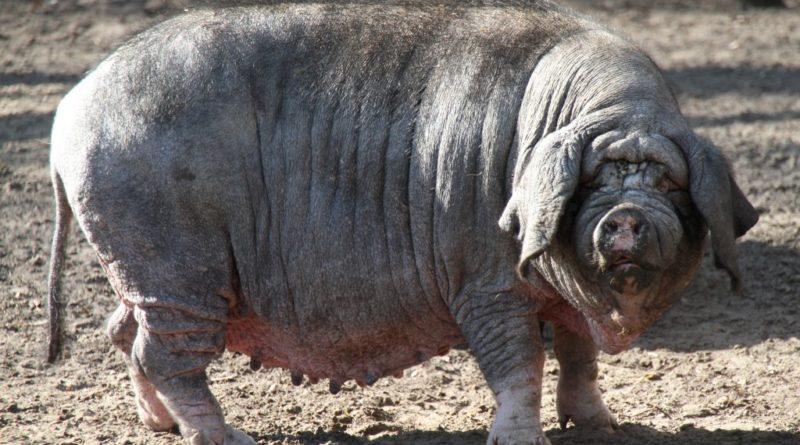 Мейшан: Супер свинья
