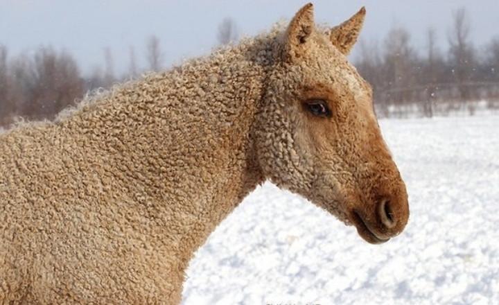 Кучерявая лошадь: Гордость русских коневодов