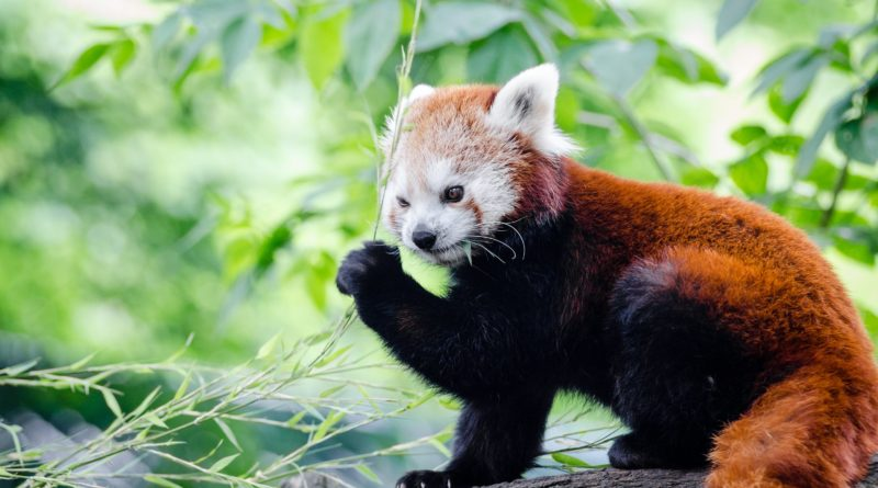 Красная панда: Самое милое существо на планете