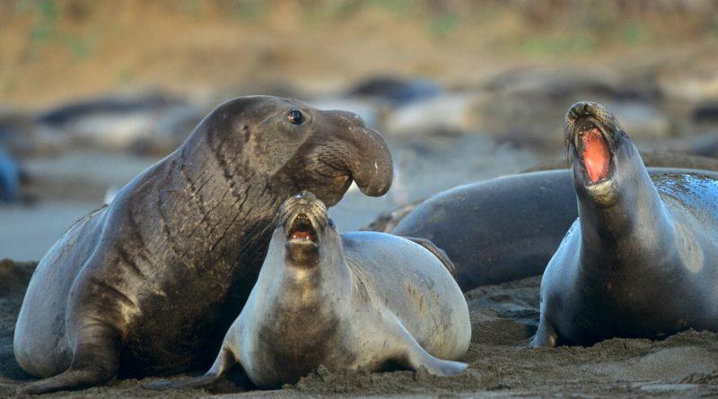Северный морской слон: Ждун собственной персоной