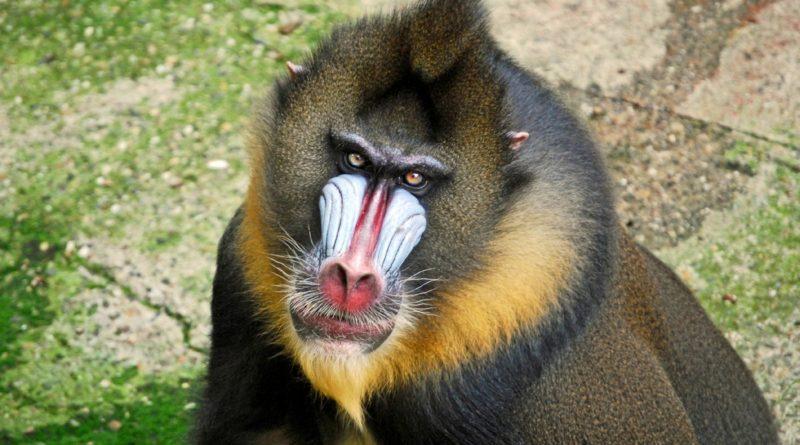 Мандрил: Главный гопник джунглей