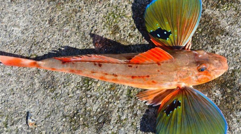 Бронированный морской петух: Что ты такое?