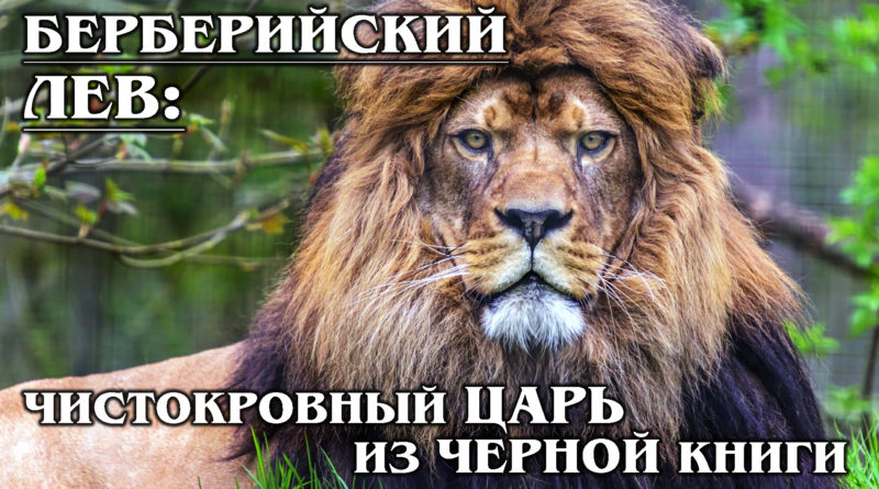 БЕРБЕРИЙСКИЙ ЛЕВ: Царь зверей со страниц Чёрной Книги животных