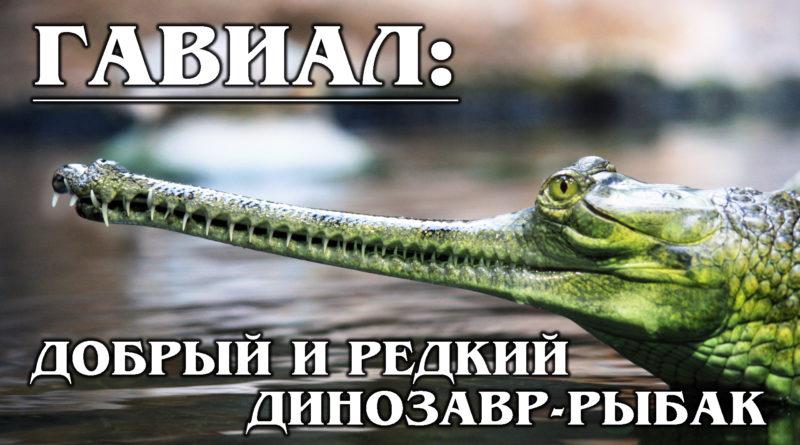 ГАНГСКИЙ ГАВИАЛ: Редкий и древний речной динозавр-крокодил