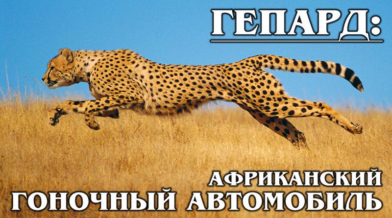 ГЕПАРД: Королевский гепард - самая приручаемая и быстрая дикая кошка