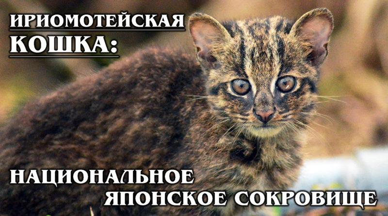 ИРИОМОТЕЙСКАЯ КОШКА: Смесь пумы и леопарда - очень редкая японская дикая кошка. Национальное японское сокровище