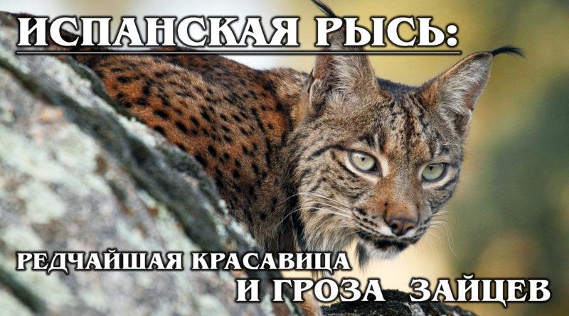 ПИРЕНЕЙСКАЯ РЫСЬ: «Горячая» и редкая испанская кошка любит охотиться на кроликов
