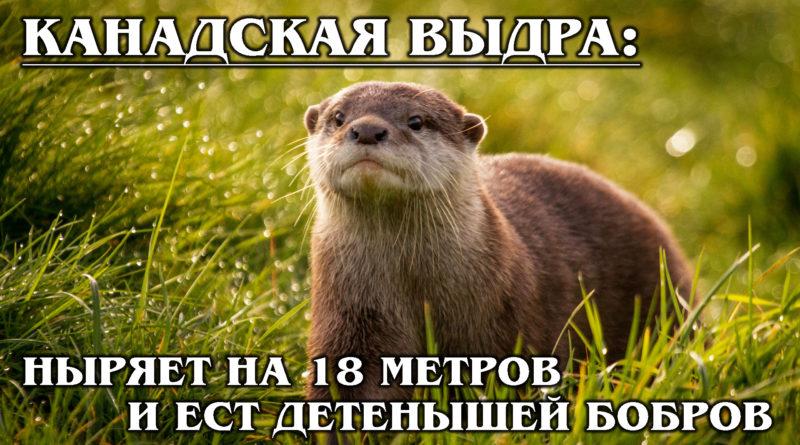 КАНАДСКАЯ ВЫДРА: Бесстрашная ныряльщица-рыболов умнее кошки