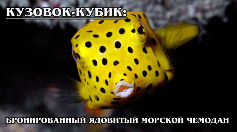 КУЗОВОК-КУБИК: Бронированная, ядовитая и странная морская рыба