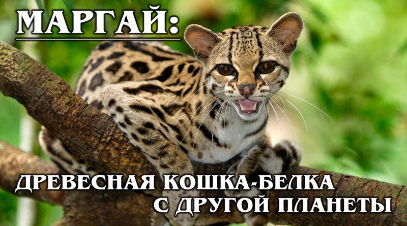 МАРГАЙ: Длиннохвостая древесная кошка-акробат с огромными глазами