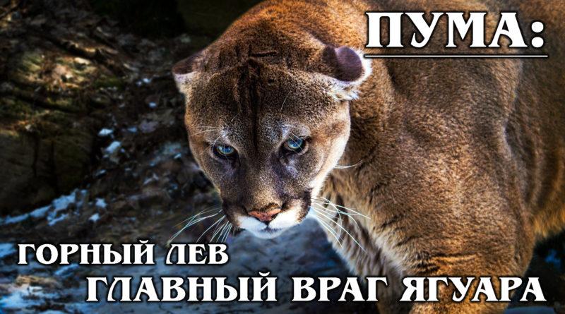 ПУМА (ГОРНЫЙ ЛЕВ): Универсальный хищник не боится даже медведей и ягуара