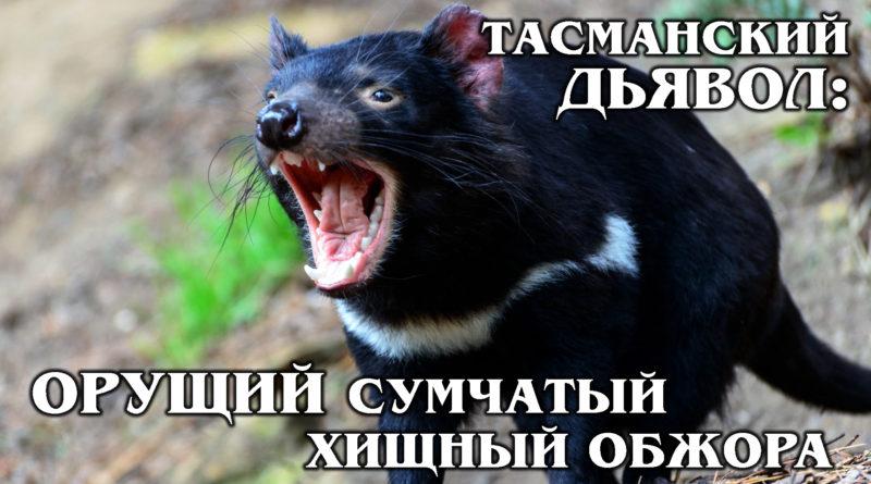 ТАСМАНИЙСКИЙ ДЬЯВОЛ: Агрессивный сумчатый чёрт - падальщик