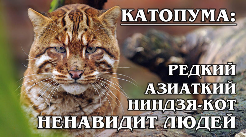 КАТОПУМЫ: Золотые редкие азиатские кошки