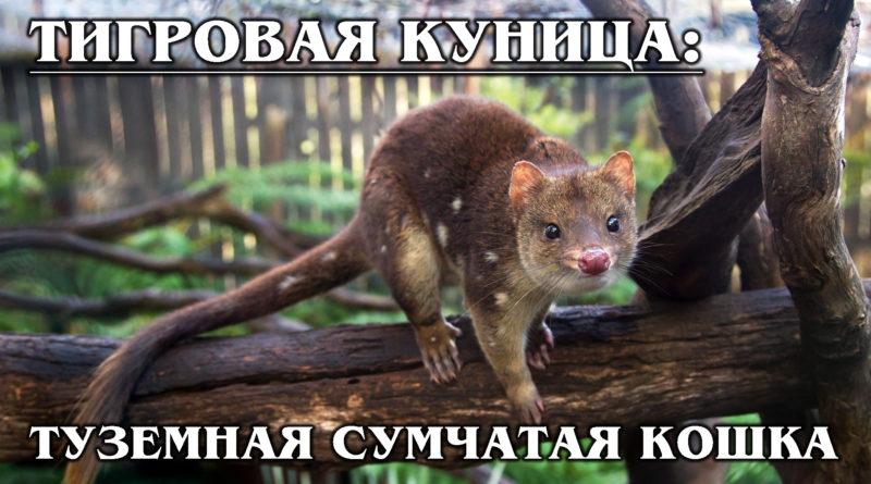 КВОЛЛ: Сумчатая тигровая кошка или куница?