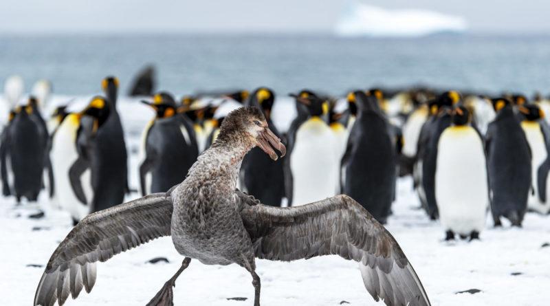Гигантский буревестник: Третирует пингвинов