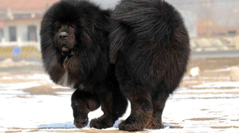 Тибетский мастиф: Собака-гигант 58 тысяч лет на страже порядка