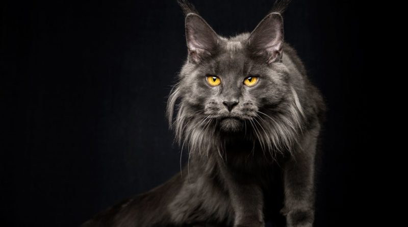 Мейн-кун: Идеальная порода кошек?