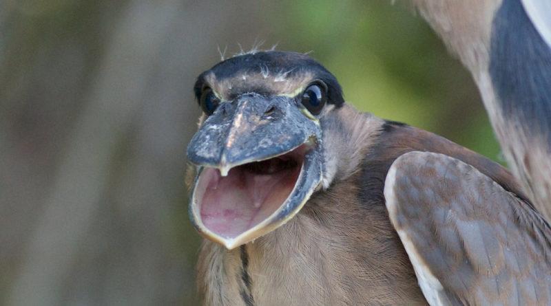 Челноклюв: Американская птица-утконос