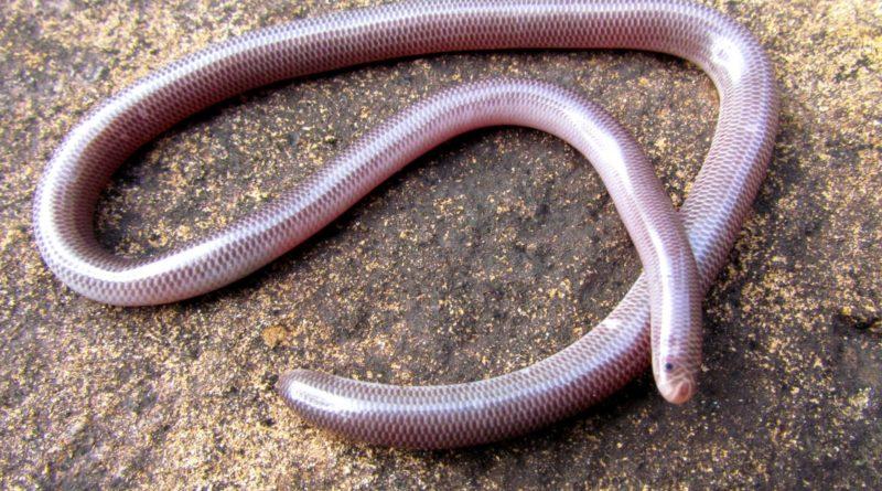 Техасская слепая змея: Змея или червяк?