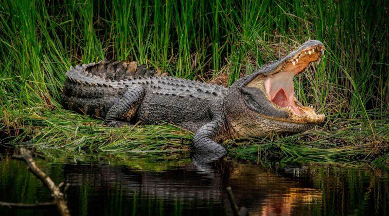 Нильский крокодил: Совершенный хищник