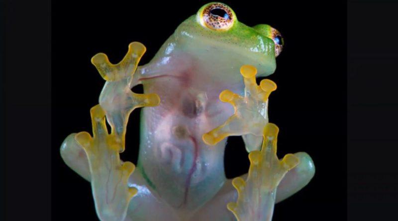Стеклянная лягушка: Невидимая амфибия с прозрачным телом