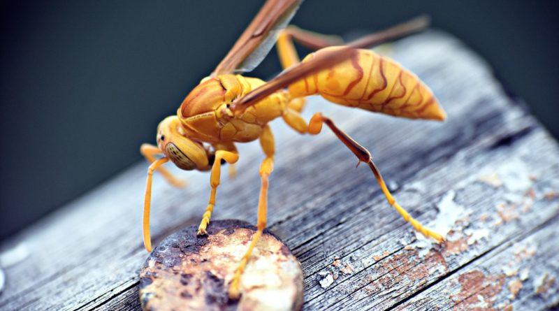 Оса-палач: Первенство по силе укуса среди насекомых