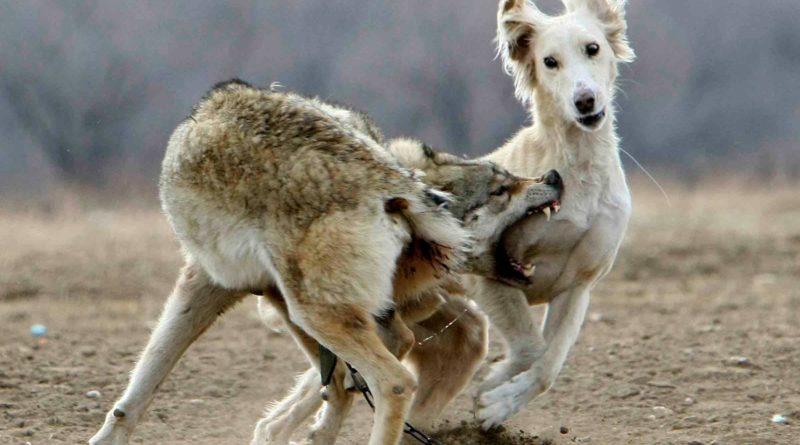 Тайган: Порода собак - специально для уничтожения волков