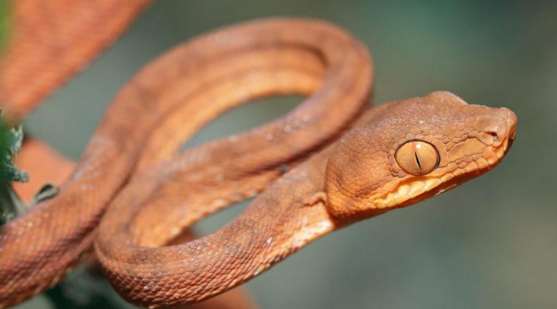 Садовый удав: Желанная агрессивная змея