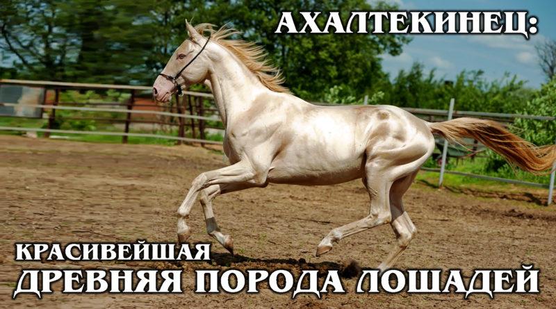 АХАЛТЕКИНСКАЯ ЛОШАДЬ: Самая красивая и древняя порода лошадей из Туркмении | Интересные факты о лошадях