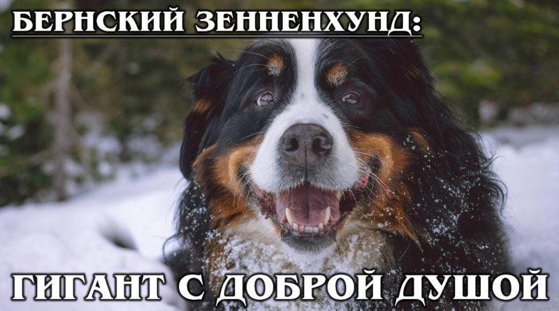 БЕРНСКИЙ ЗЕННЕНХУНД: Собака-пастух с самой добродушной улыбкой на свете