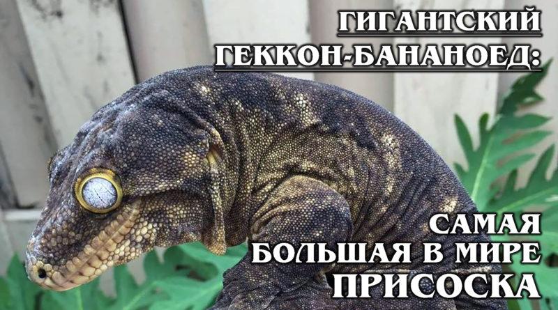 ГИГАНТСКИЙ ГЕККОН-БАНАНОЕД: Шарпей в мире рептилий и самый крупный в мире геккон