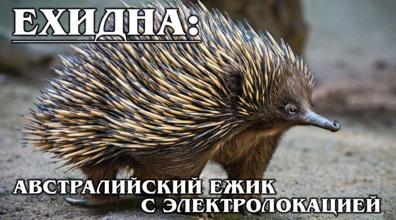 ЕХИДНА: Австралийский колючий шар с электролокацией