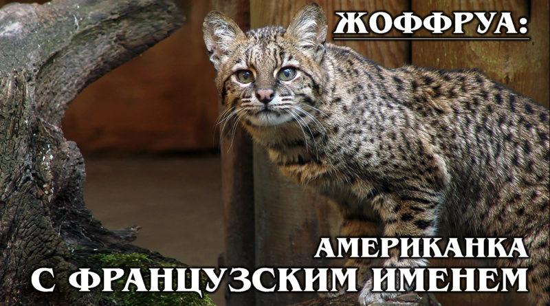 ЖОФФРУА: Южноамериканская дикая кошка с французским именем