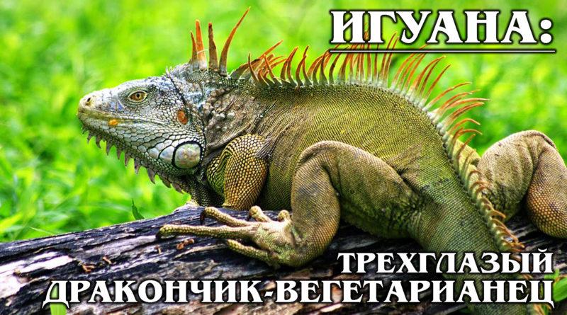 ЗЕЛЕНАЯ ИГУАНА: Божественная рептилия с «третьим» глазом