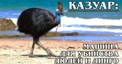 КАЗУАР: Самая опасная птица-динозавр на планете | Интересные факты о птицах и казуаре