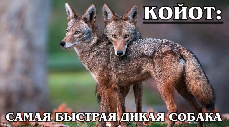 КОЙОТ: Луговой волк – друг бегающей кукушки | Интересные факты о волках