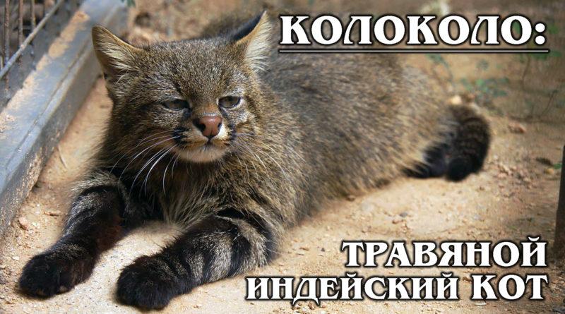 ПАМПАССКАЯ КОШКА: Американский манул с жестким характером или травяной кот | Интересные факты о кошках