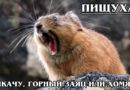 ПИЩУХИ: Плачущие кролики – прародители Пикачу и любимцы тибетской лисицы | Интересные факты о пищухах